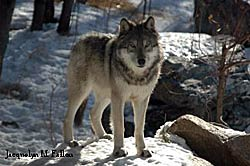 Image of a wolf: Grizzer-Plains